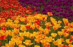 Glänzende mehrfarbige Tulpen Lizenzfreie Stockfotografie