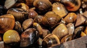 Glänzende Molluske Lizenzfreies Stockfoto