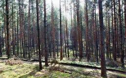 Glänzende Sonne im Wald Stockbild