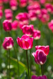 Glänzende Tulpen Stockbild