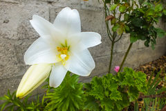 Glänzende weiße Lilie im Garten Stockfotografie