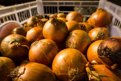 Glänzende Zwiebeln im Plastikkasten im Verkauf im traditionellen Markt Foto eingelassenes Bogor Indonesien stockfotografie