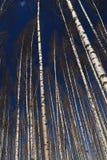 Glänzender Birken-Wald Stockbilder