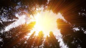Glänzender Effekt Sun durch Überdachung von hohen Bäumen Stockfoto