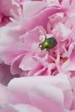 Glänzender grüner Käfer Stockfotografie