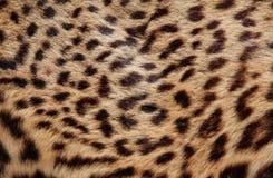 Glänzender Leopardpelz mit den klassischen Dunkelheitsformen 2 Stockfotografie
