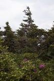Glänzender magentaroter Rhododendron, der am großväterlichen Berg, NC wächst Stockbild