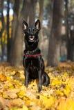 Glänzender schwarzer Hund im Herbstlaub Lizenzfreies Stockfoto