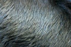 Glänzender schwarzer Pelz des Hundes Stockfoto