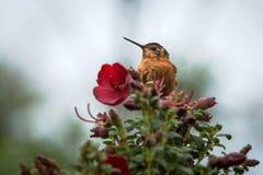 Glänzender Sonnenstrahl, der auf Baum mit roter Blume, Kolumbien, Kolibri saugt Nektar von der Blüte, Tier der großen Höhe in sei lizenzfreies stockfoto