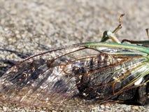 Glänzender Zikaden-Flügel lizenzfreies stockbild