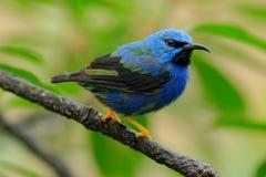 Glänzendes Honeycreeper, Cyanerpes-lucidus, exotische tropische blaue Vogelform Costa Rica Lizenzfreies Stockbild