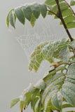 Glänzendes spiderweb im Regen fällt auf die Niederlassung der Eberesche Herbst Stockbilder
