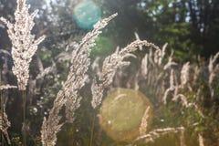 Glänzendes trockenes Gras in der Sonnenhintergrundbeleuchtung Feld des grünen Grases gegen einen blauen Himmel mit wispy weißen W Lizenzfreie Stockfotos