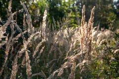 Glänzendes trockenes Gras in der Sonnenhintergrundbeleuchtung Feld des grünen Grases gegen einen blauen Himmel mit wispy weißen W Stockfoto