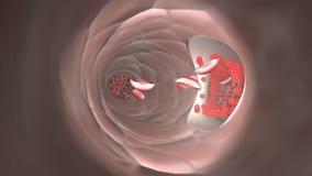 Glóbulos rojos el fluir en una vena Fotografía de archivo libre de regalías