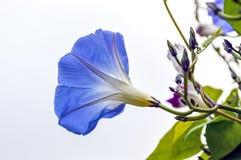 Glória azul da manhã Foto de Stock