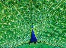 Glória do pavão Imagens de Stock Royalty Free