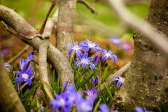 Glória---neve (luciliae de Chionodoxa) Imagens de Stock