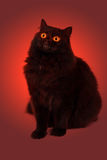 glöda för ögon för svart katt ont Arkivbild