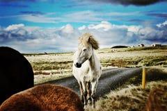Glöda för vit häst Arkivfoton