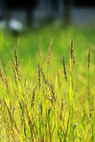 Glödande gräs Royaltyfri Bild