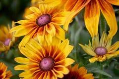 Glödande guling och orange blomningar av trädgårds- blommor på höga detaljer med mjuk fokuserad grön bakgrund Arkivfoton