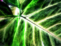 glödande leaf Arkivbild
