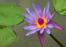 glödande liljavatten Royaltyfria Foton