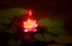 glödande lotusblomma Royaltyfria Bilder