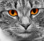 glödande rött läskigt för kattögon Arkivfoto