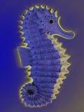 Glödande seahorse Arkivbilder