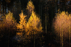 glödande trees Royaltyfri Bild
