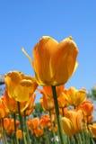 glödande tulpan för detalj Royaltyfri Foto