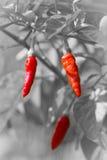 Glödhet chili på svartvit bakgrund Royaltyfria Bilder