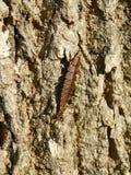 GlödWorm segmenterad larv av eldflugaskalbaggen Royaltyfri Bild