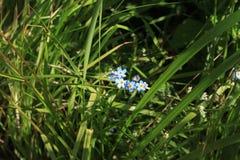 Glömma-me-anbud i gräset Arkivbilder