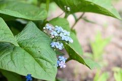 Glömma-me-blommor Fotografering för Bildbyråer