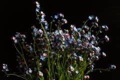 Glömma-mig-nots blå blommabukett Royaltyfria Foton