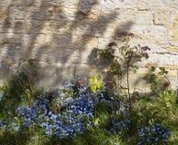 Glömma-mig-nots i landsträdgård Arkivbilder