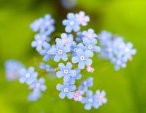 Glömmaen mig-inte blommor Arkivbild
