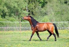 Glücklich das Pferd, das frei auf Bauernhof läuft Lizenzfreie Stockfotos