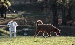 Glücklich, nett, Hunde im Sonnenuntergang spielend stockbilder
