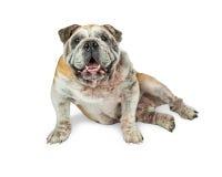 Glückliche alte englische Bulldoggen-sitzendes Lächeln Lizenzfreie Stockfotografie