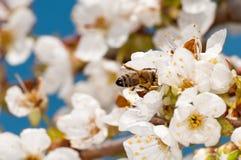 Glückliche Biene auf Tresnovy blüht in einem Frühlingshimmel mit weißen Wolken Stockbilder