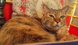 Glückliche braune Katze, die auf rotem Kissen im Stuhl liegt Stockbilder