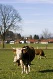 Glückliche deutsche Kühe auf grünem Gras Stockfotos