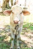 Glückliche einzelne Kuh Stockbild