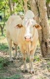 Glückliche einzelne Kuh Lizenzfreie Stockfotografie