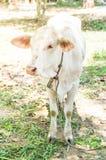 Glückliche einzelne Kuh Stockfotografie